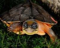 Save Golden Coin Turtles From Poaching
