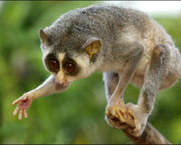 SAVE THE LITTLE SLENDER LORIS
