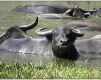 HELP SAVE FREE WATER BUFFALO
