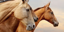 Obama signs law legalizing horse slaughter in the US