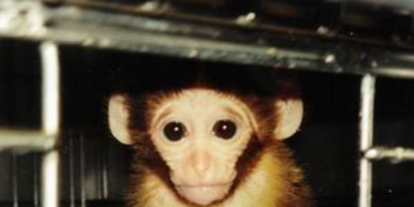 Baby Monkeys to be Tortured and Killed for Sadistic