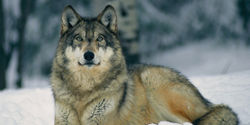 Don't Let Wildlife Services Kill Our Wolves