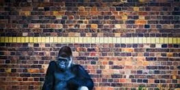 Get Makoko the gorilla out of his 10 year solitary confinement!