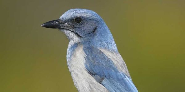 Make Florida Scrub Jay Floridas State Bird Now
