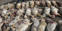 URGENT! CA Dept. of Fish & Wildlife & F&G Commission: Stop Coyote Killing Contest -PLEASE SIGN!!!