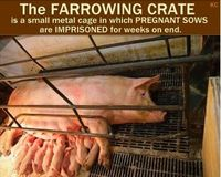 Stop the Use of Pig Gestation Crates and Extreme Cruelty to Georgia Pigs!