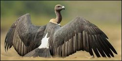 Save the Indian Vulture from Extinction