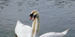 End Michigan's Mute Swan Killing Policy!