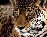 NO Copper Mining in Jaguar Habitat!