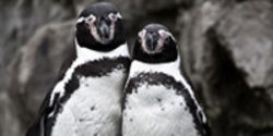Don't Separate Toronto Zoo's Gay Penguin Couple