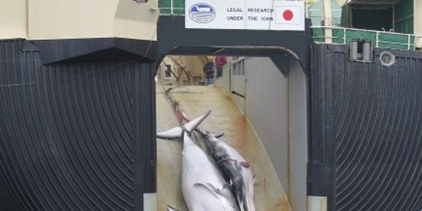 Demand Japan Stop Whaling