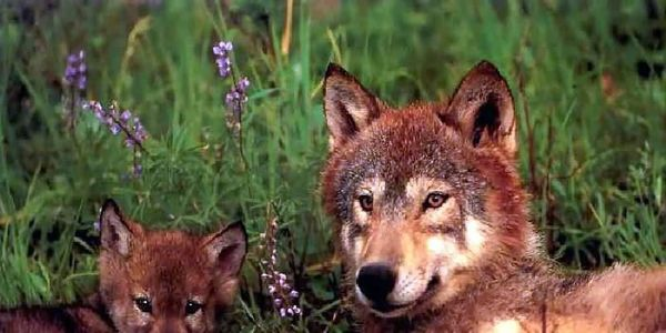 Speak for Wolves: Yellowstone 2014~~ June 28-29