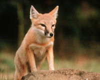 Don't Let The Swift Fox and Other Canadian Species Disappear!
