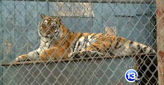 http://nl.media.rbth.ru/web/en-rbth/images/2014-11/big/tiger_Vasily_Solkin_WWF_Russia_468.jpg