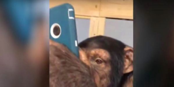 Chimpanzee from zoo using a cell phone