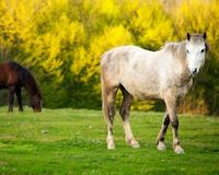 Stop Romanian Horse Slaughter