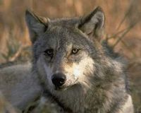 Protect the Gray Wolf From the Bush Administration!