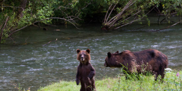 Stop the Grizzly Bear Cull!