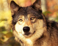 Protect Montana Wolves and Cancel the 2011 Wolf Hunt