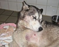 Justice for Husky Dogs Shot in Orange County Florida