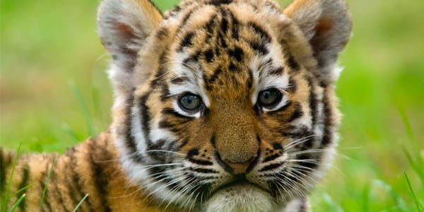 Protect Wild Tigers From Poachers
