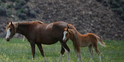 Rescind Your Pro-Horse Slaughter Appointment of Callie Hendrickson to the BLM Wild Horse & Burro