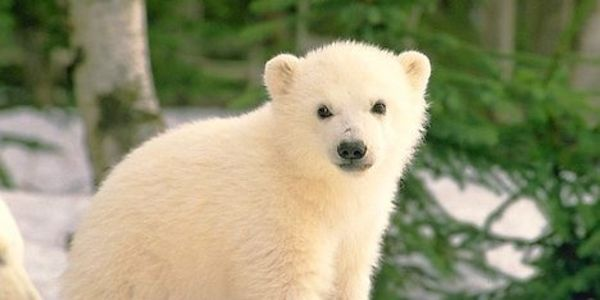 Please Ban Endolsulfan to Help Protect Polar Bears