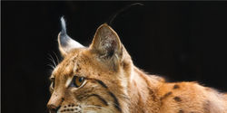Protect Lynx in New Mexico
