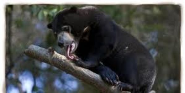 Commend Conservationists for Protecting Sun Bears