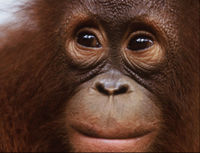 Save Orangutans, Chimps and Gorillas