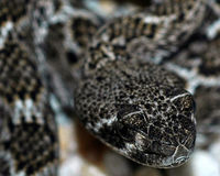 Protect the Snakes! Give Eastern Diamondbacks