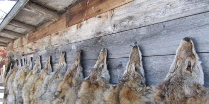fourrure coyote pour canada goose