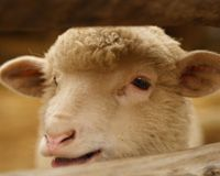 Stop the Cruel Slaughtering of Lambs for Easter in Italy!