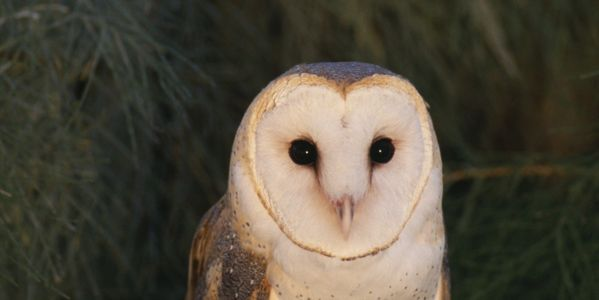 Save the Barn Owl