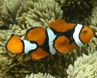 Save the Endangered Clownfish!