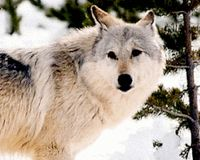 Don't Let Wyoming's Wolves Be Sacrificed