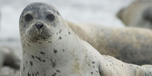 Stop shooting seals and start making them a source of research and information so we can co-exist!