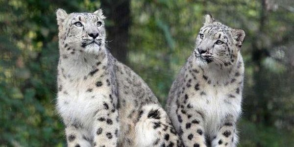 Stop Logging in the Snow Leopard's Range