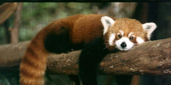 Save Red Pandas from Habitat Destruction!
