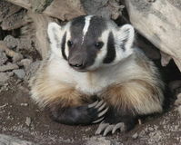 Oppose Badger Killing
