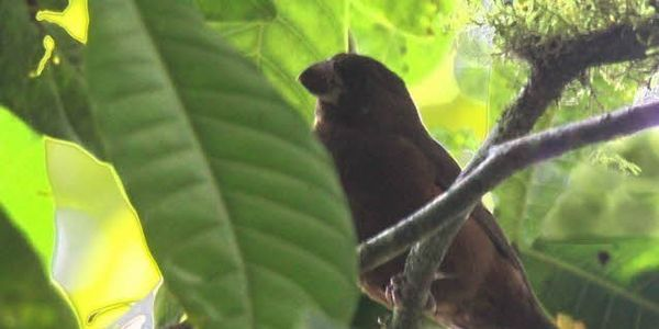 Help the São Tomé Grosbeak Stay Alive!