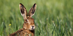 Norfolk - Take Action Against Hare Coursing
