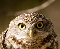 Save Western Burrowing Owls!
