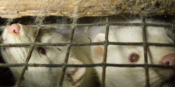 White minks for fur farming trapped in wire cages
