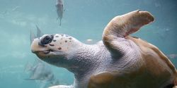Tell the Maldives- Stop Slaughtering Endangered Sea Turtles
