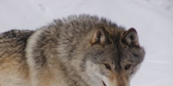 Protect Wolves in Canada's Central Rocky Mountains