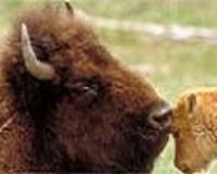 Stop the Hazing of Wild Buffalo and Newborn Calves