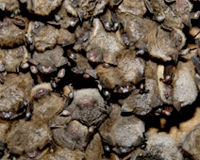 Keep Caves Closed to Save Our Bats