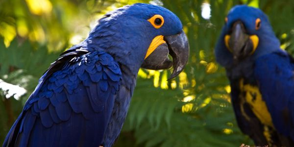 Save the Hyacinth Macaw