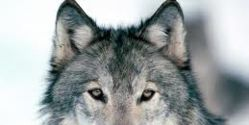 MAKE HUNTING WOLVES ILLEGAL IN BOTH EUROPE AND THE U.S